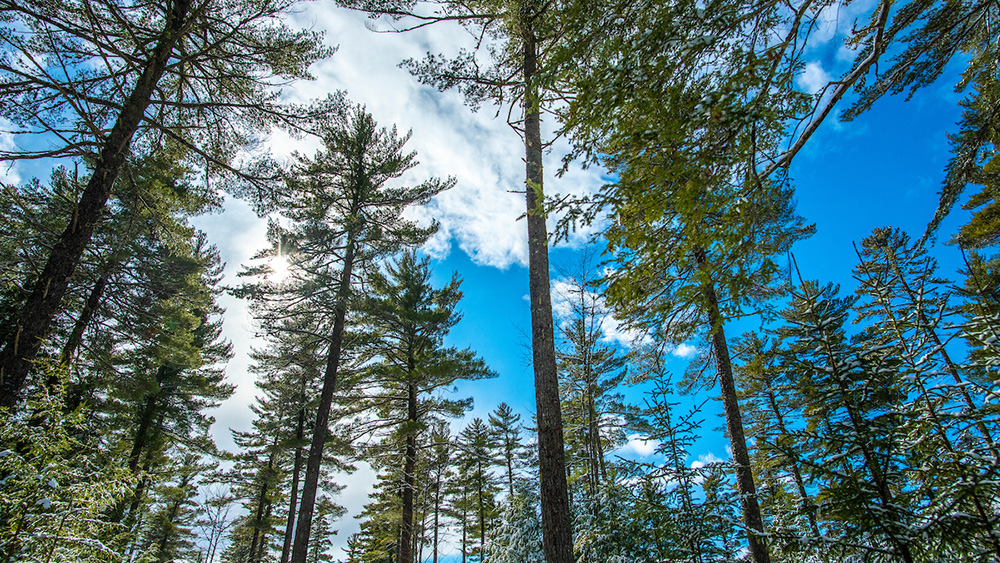 Image of trees in a Maine forest