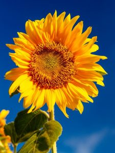 sunflower in full bloom against a deep blue sky