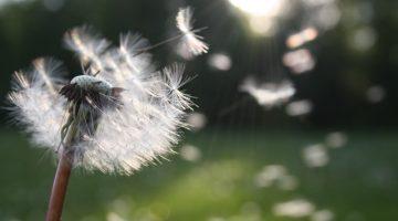 dandelion seed being blown in the wind